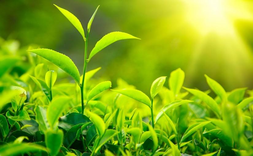 Grüner Tee stärkt das Immunsystem und hilft bei Erkältung